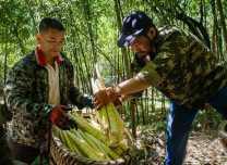 bamboo shoot collector