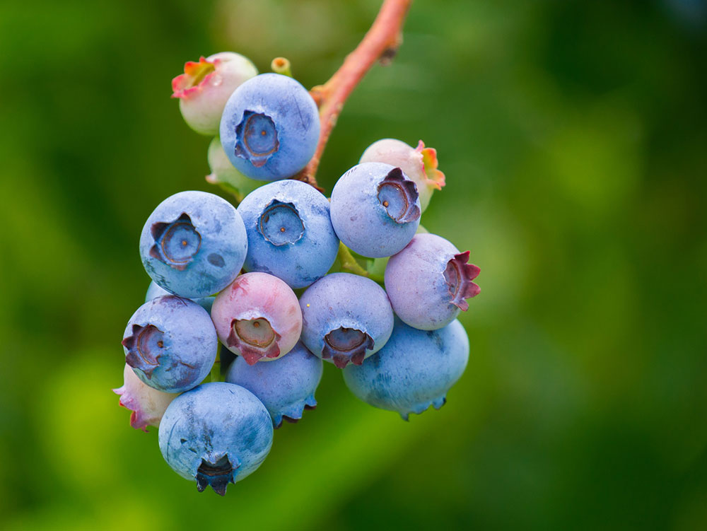 Blueberries-shapingba