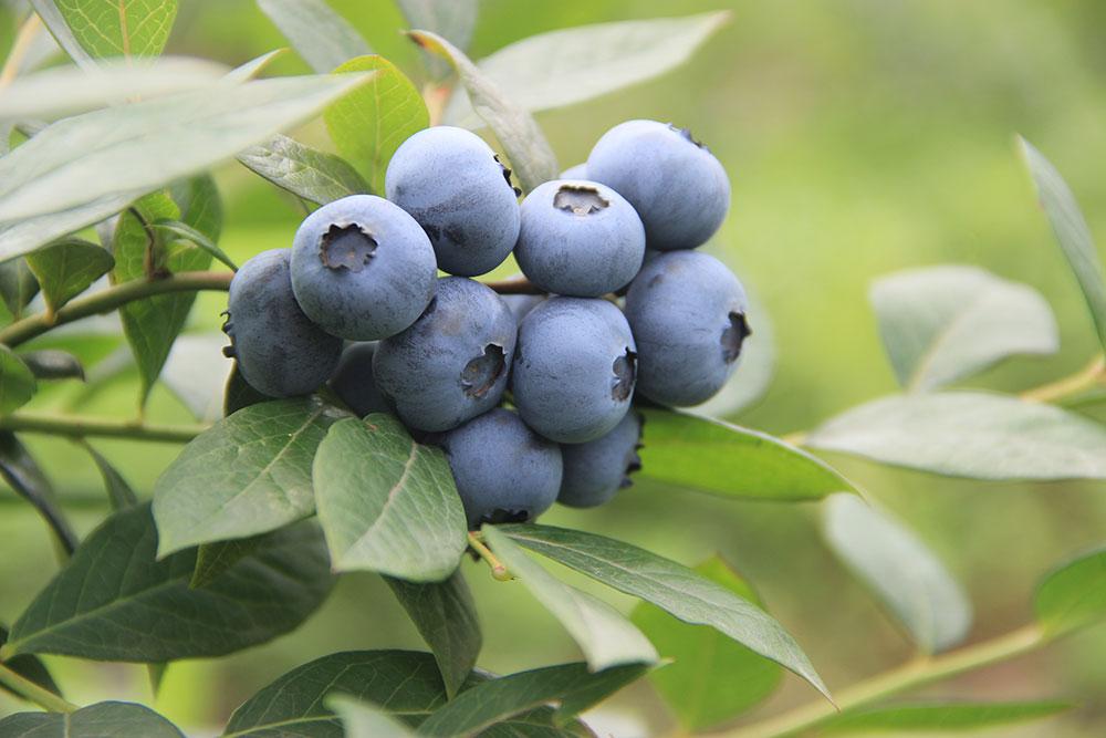 Blueberries-yubei