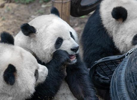 Travel Guide: Have Fun with Pandas in Chongqing Zoo!