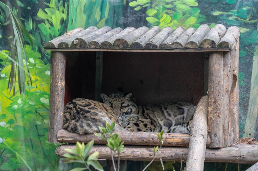 Zoo-leopard