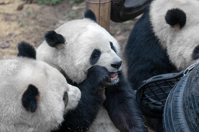 Zoo-panda