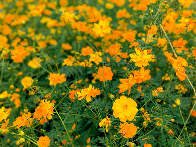 Sea-of-Flowers-cosmos