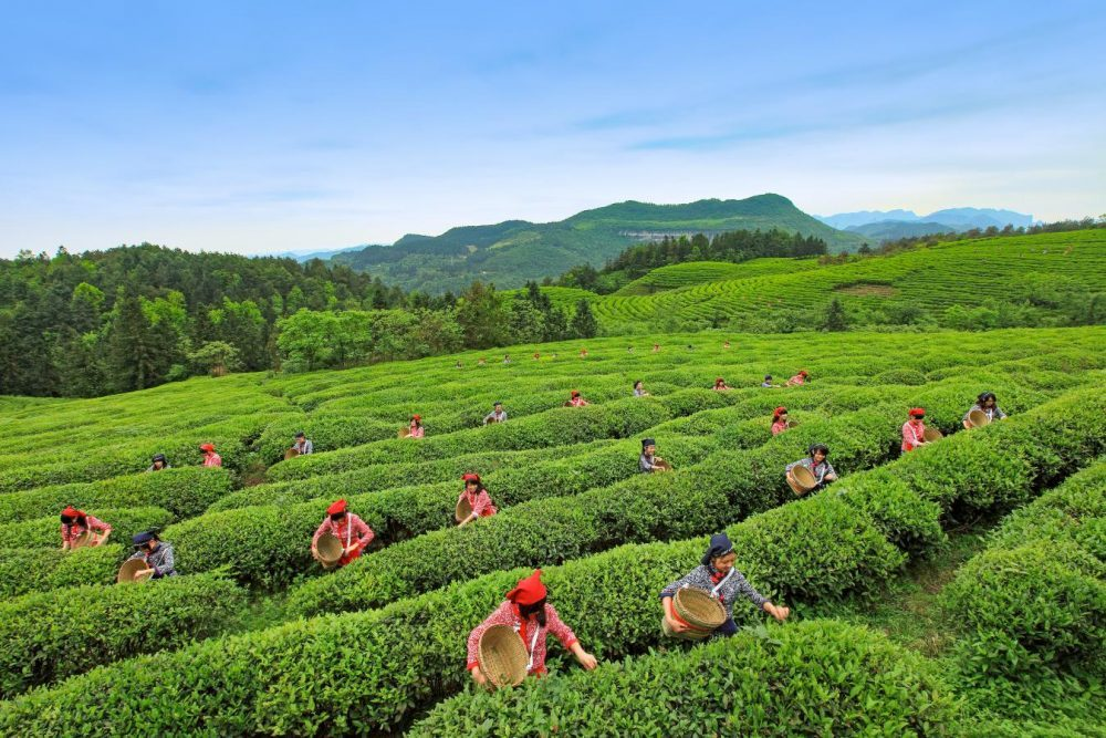 Tea picking in Baima Mountain