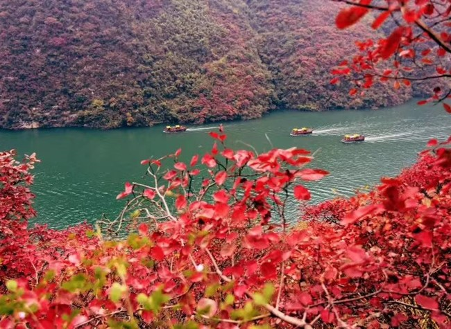 The Red Leaf Festival to Show A Red World of Three Gorges