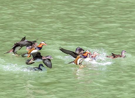 With Eco-environment Improved, Nanchuan Gathers Flocks of Wild Mandarin Ducks