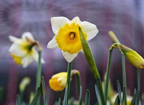 Spring Festival in Downtown Chongqing: Scores of Rare Daffodils Waiting for You