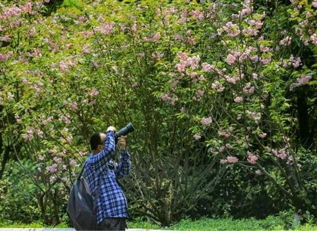 Breathtaking Beauty of Tieshanping Forest Park's Oriental Cherry Avenue