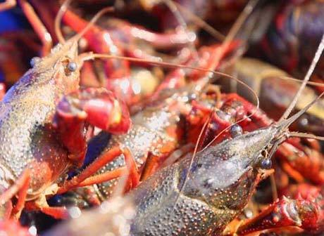 Crayfish Blazes a New Path for Poverty Alleviation