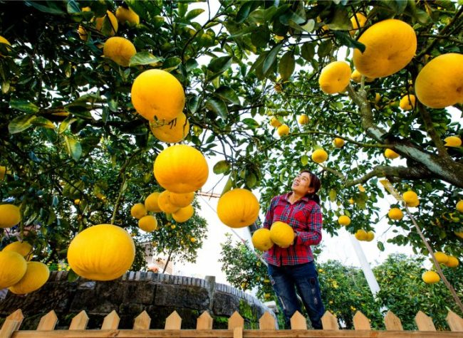 3rd Liangping International Pomelo Expo Boosts Sales for Local Farmers