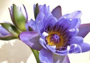 Blue Lotus Appears at Yangtze River Upstream City Flower Art Expo