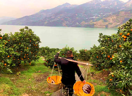 Fengjie Orange Cooperative Tells Poverty Alleviation Story