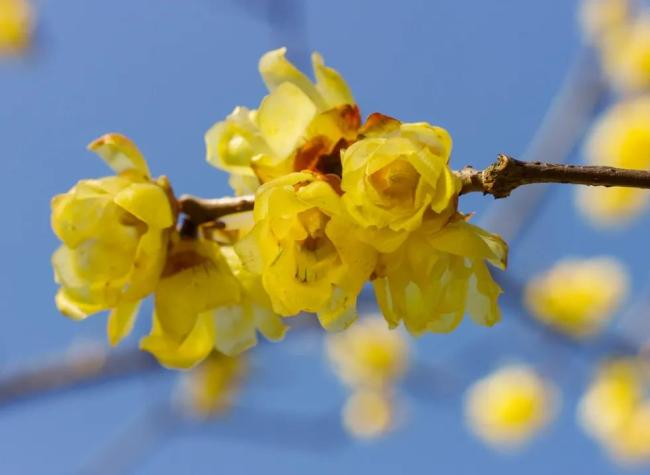 Blooming Flowers Color the Dull Winter! It's Time for a Trip of Wintersweet