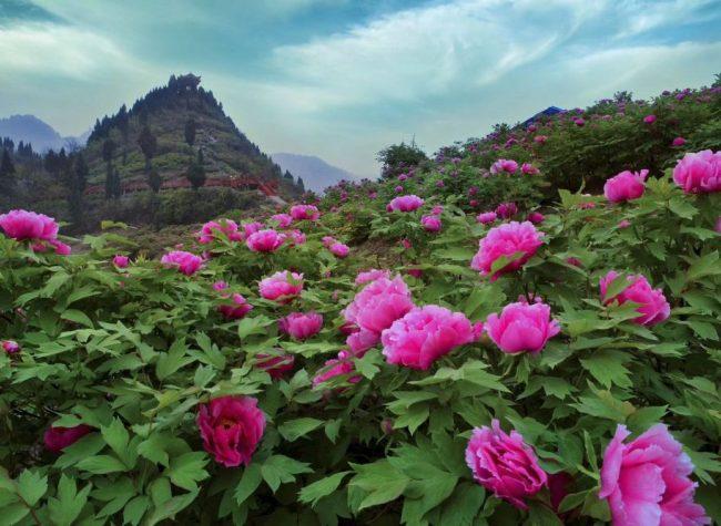 Best Place for Spring Break: Peony Flowers on Kai's Peak in Full Bloom