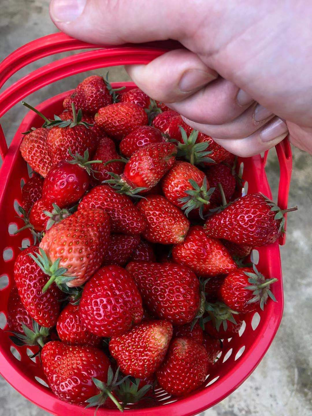 Delicious strawberry picking in Relaxing in Da Tianchi village, Yubei