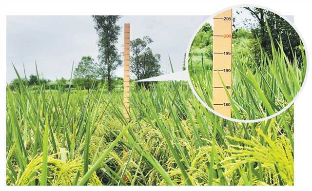 giant rice shoots growing in an about-10,000-square-meter experimental field at Changhong Village, Shiwan Town, Dazu District, Chongqing this year are cultivated successfully