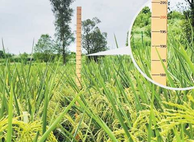 Two-meter-high 'Giant Rice' Cultivated Successfully in SW China